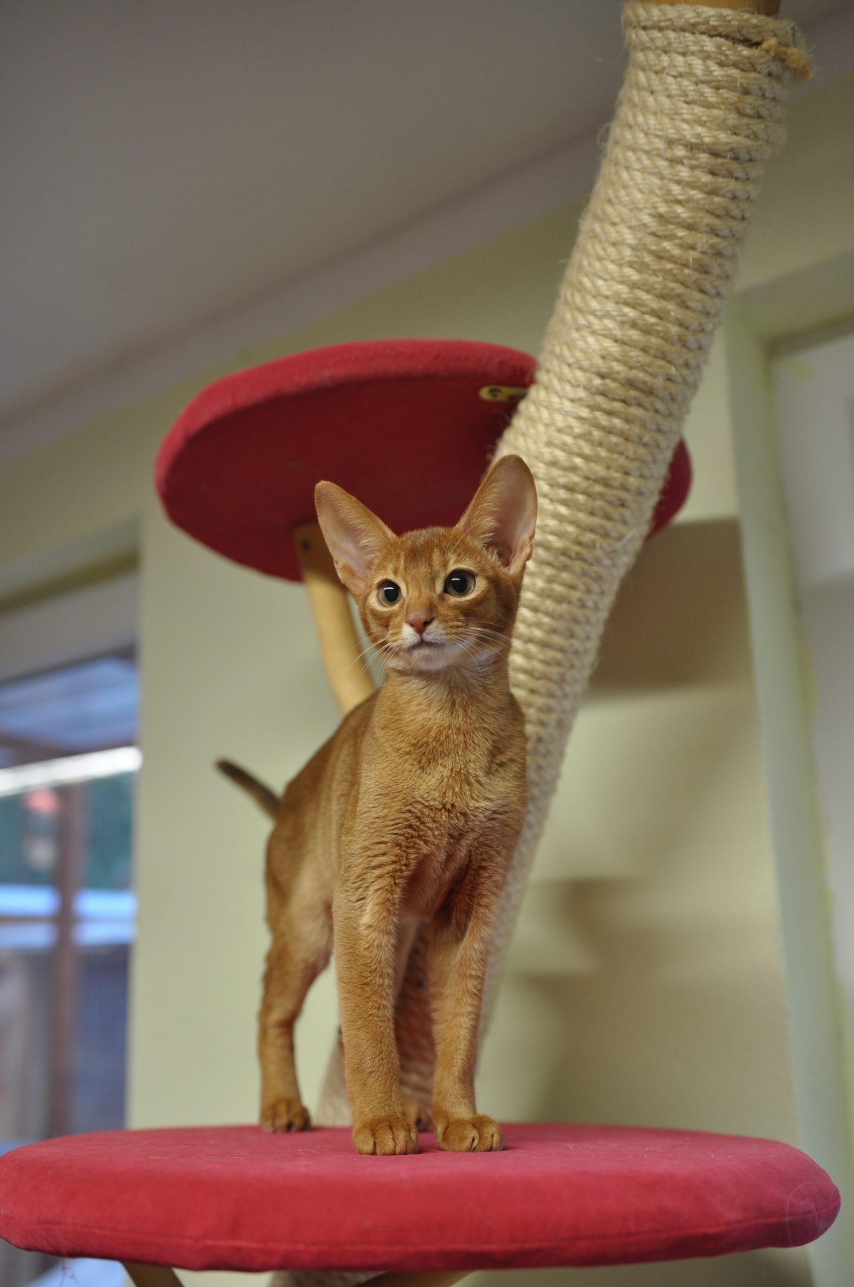 Abesínska mačka