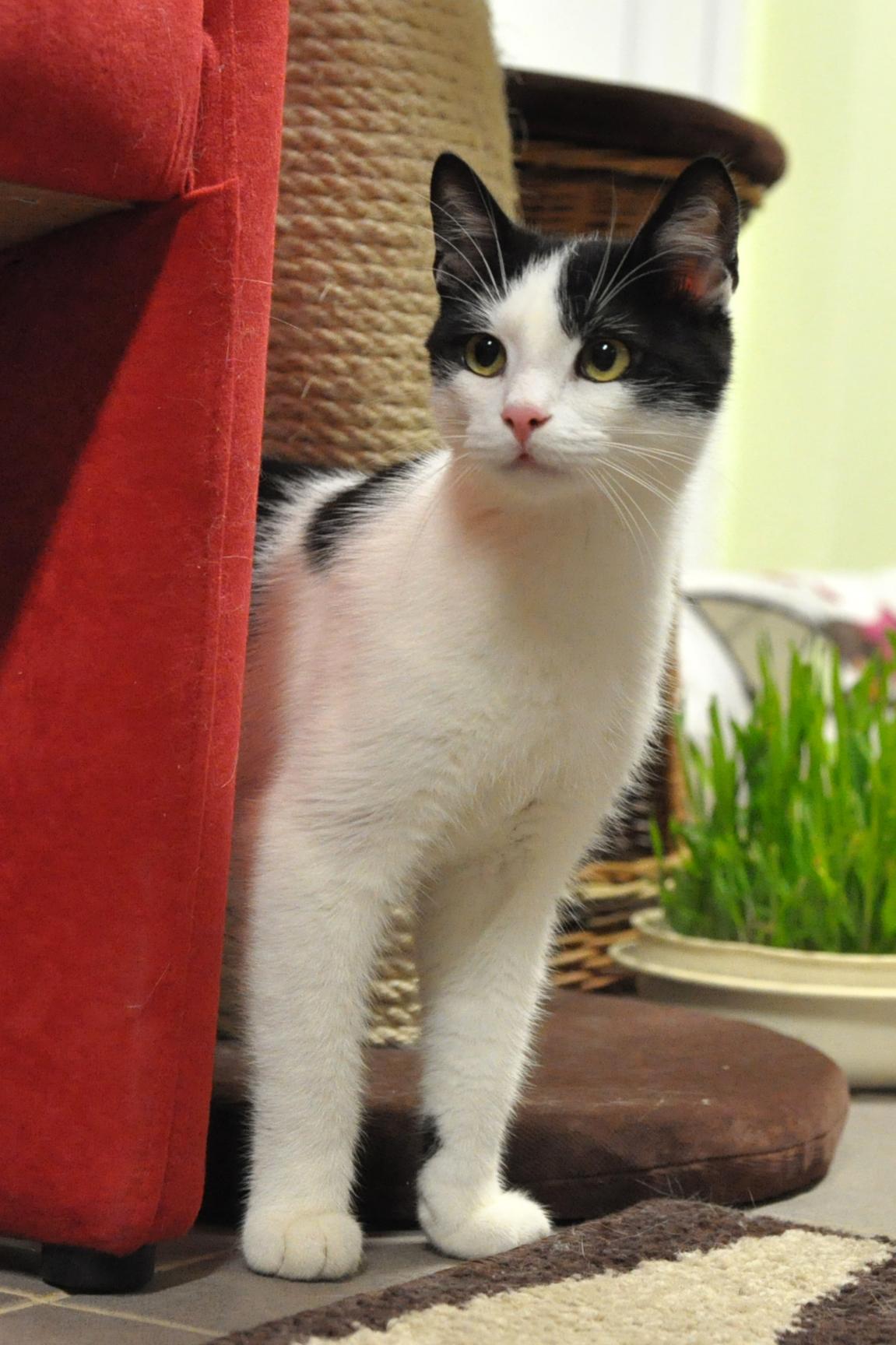 Európska krátkosrstá mačka